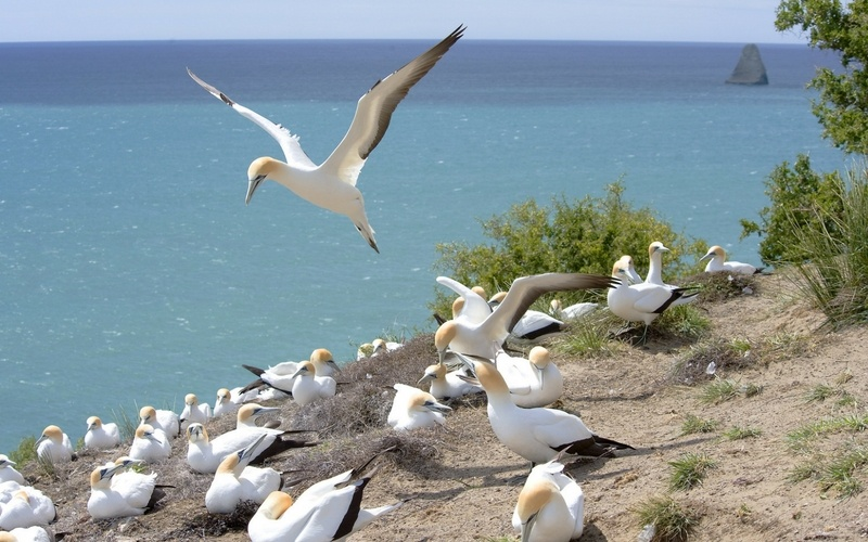 Farm_Cape-Kidnappers-Gannets