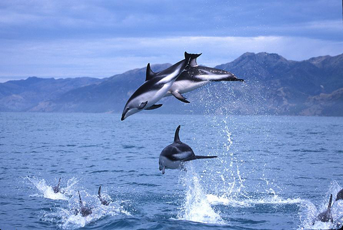 New-Zealand-Dolphins