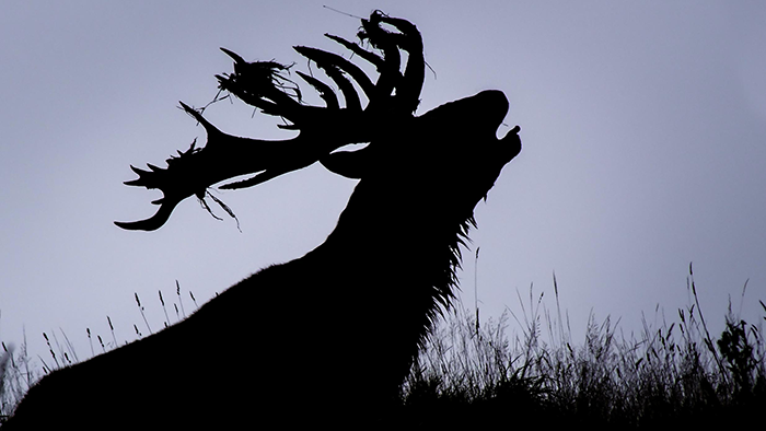 New-Zealand-Red-Stag