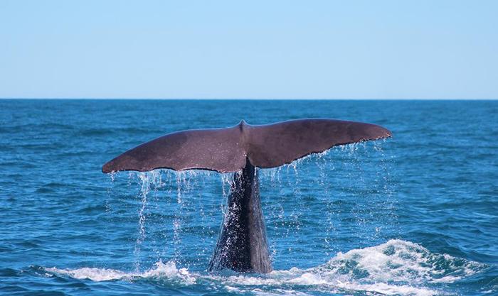 Sperm-Whale-Tail