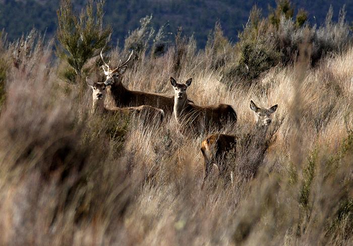 new-zealand-deer-stags
