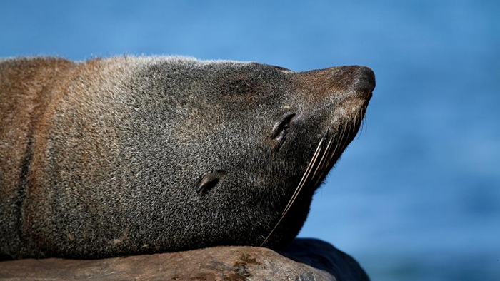 new-zealand-fur-seal