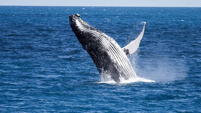humpback-whale-new-zealand