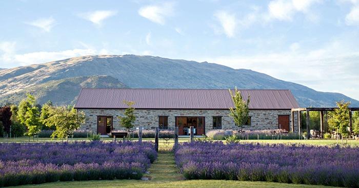 new-zealand-lavender-farm-1