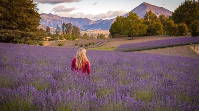 new-zealand-lavender-farm-2