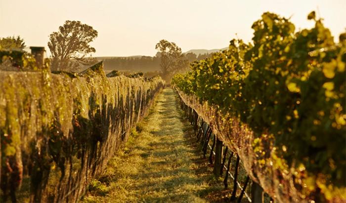 new-zealand-vineyard