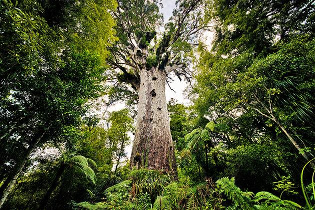 tane-mahuta-kauri-waipoua-forest-nz